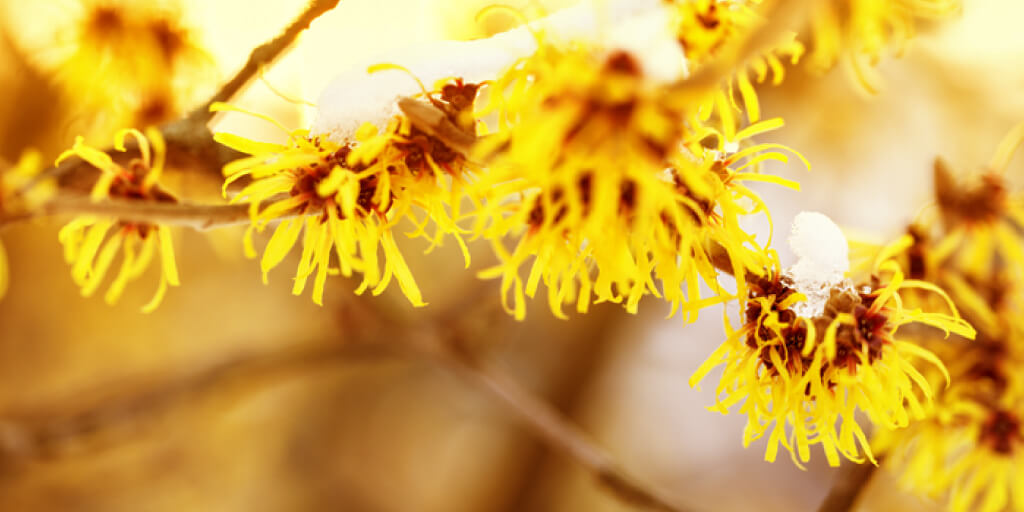 Top Natural Witch Hazel Uses for Skin and Health_First Aid