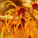 Top Natural Witch Hazel Uses for Skin and Health_Title